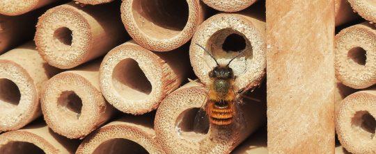 Wildbiene vor Bambusröhren
